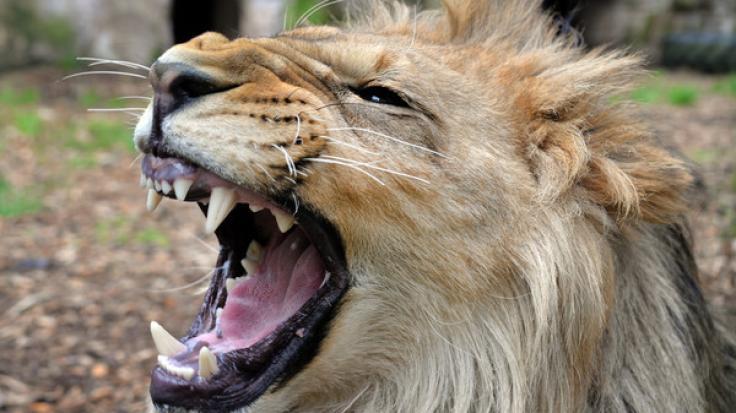 Ein ausgebüxter Löwe hat in einem Tierpark in den USA eine 22-jährige Frau zerfleischt (Symbolbild).