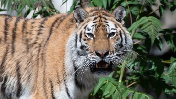 Aus einem Zoo in Rheinland-Pfalz sind mehrere Raubkatzen, darunter zwei Tiger, ausgebrochen.