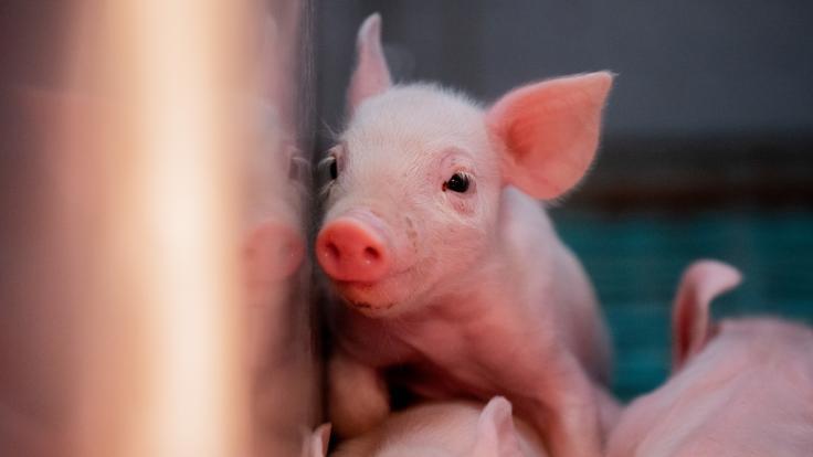 In China wurde ein bislang unbekannter Typus der Schweinegrippe entdeckt - der Influenza-Stamm könnte der Menschheit die nächste Pandemie nach dem Coronavirus bescheren. (Foto)