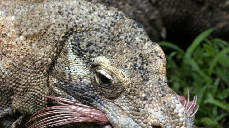 Riesige Giftschlange auf Beinen: Komodowarane gehören zu den gefährlichsten Tieren weltweit. (Foto)