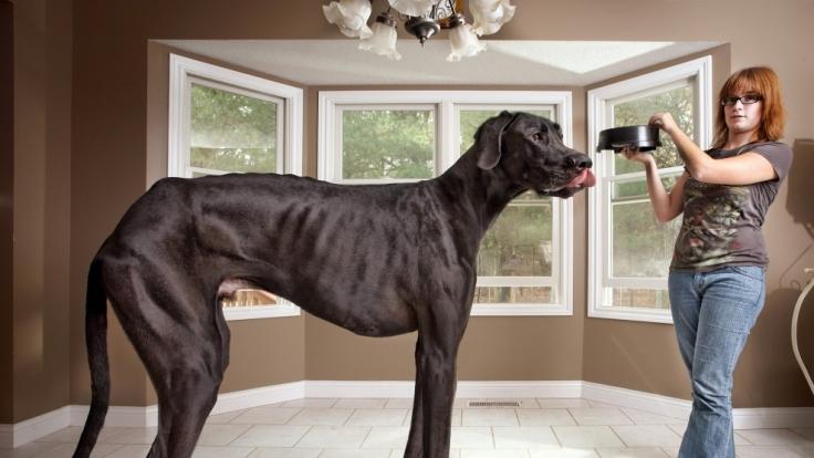 Zeus war ein raumfüllender Hund.