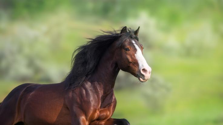 In Liechtenstein hat ein Mann ein Pferd sexuell missbraucht. (Foto)
