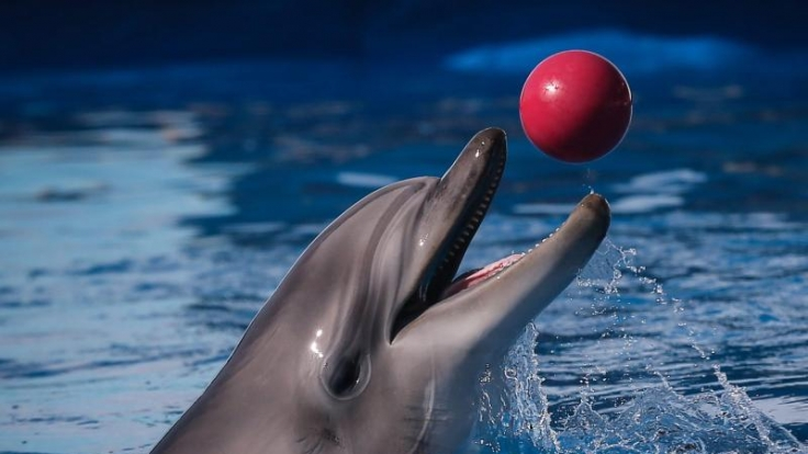 Eigentlich sollte er Englisch lernen, doch Delfin Peter wollte viel lieber Sex. (Symbolbild)