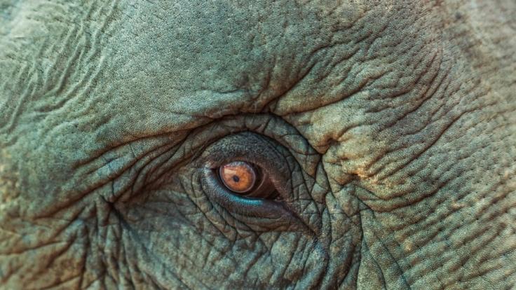 Der asiatische Elefant ist stark gefährdet. (Foto)