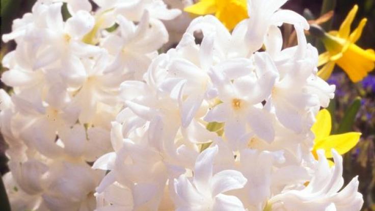 Hyazinthen für die Vase nicht anschneiden (Foto)