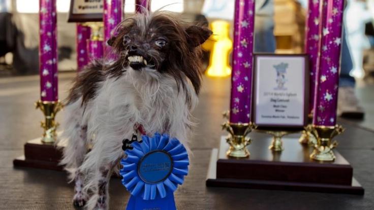 Hässlichkeit ist kein Grund, sich zu verstecken. Auch für Hunde nicht. Peanut, ein Vierbeiner aus North Carolina, gewann den Titel «Hässlichster Hund der Welt».
