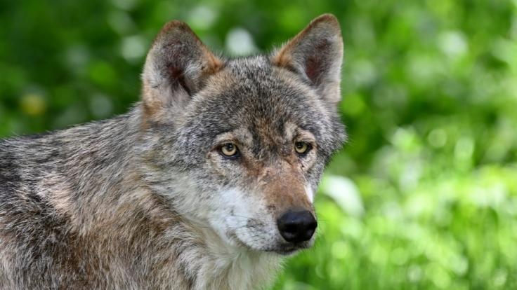 Immer mehr Wölfe in Deutschland: Forscher warnen: Wolf bedroht uns Menschen!
