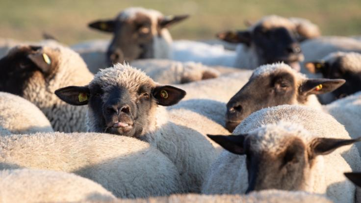 In Velden vergeht sich ein Mann derart an einem Schaf, dass es notgeschlachtet werden muss. (Symbolfoto) (Foto)
