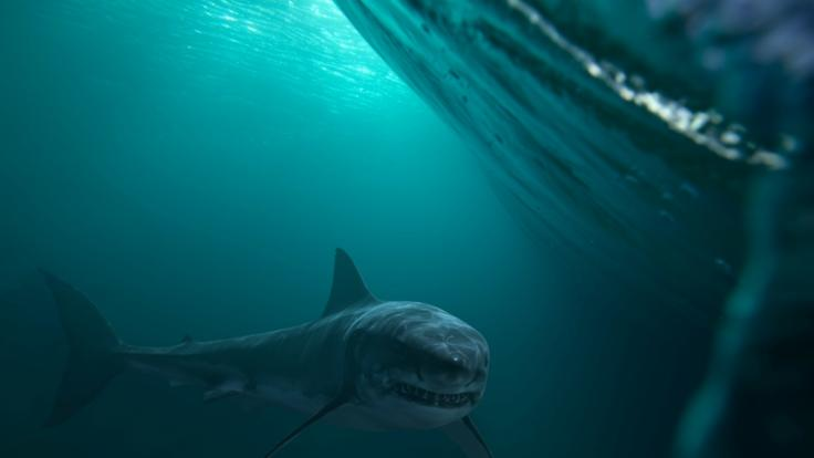 Vor der Küste New Jerseys kam es zu einer bizarren Begegnung zwischen Mensch und Hai. (Foto)