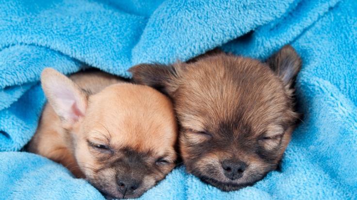 (Symbolfoto): In Spanien wurden mehrere Hunde jahrelang gequält. (Foto)