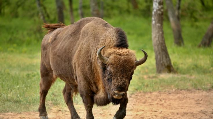 Im Yellowstone-Nationalpark hat ein Bison eine Frau mehrfach durchbohrt. (Foto)