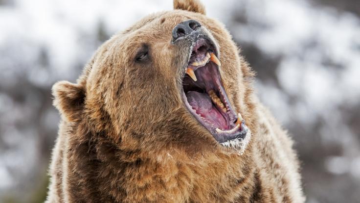 Eine Frau wurde von Bären getötet und teilweise aufgefressen. (Foto)