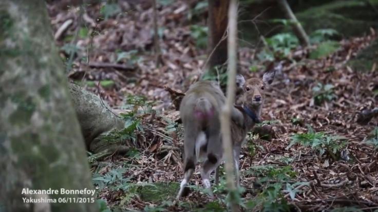 Das arme Hirschweibchen weiß gar nicht wohin mit seinem Peiniger. (Foto)