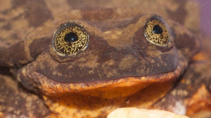 Romeo, ein seltener Sehuencas-Wasserfrosch, war zehn Jahre lang alleine im Naturkundemuseum in Bolivien.