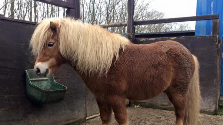 Bei Henningsdorf soll ein Unbekannter sexuellen Kontakt mit gleich drei Ponys gehabt haben. (Symbolbild) (Foto)