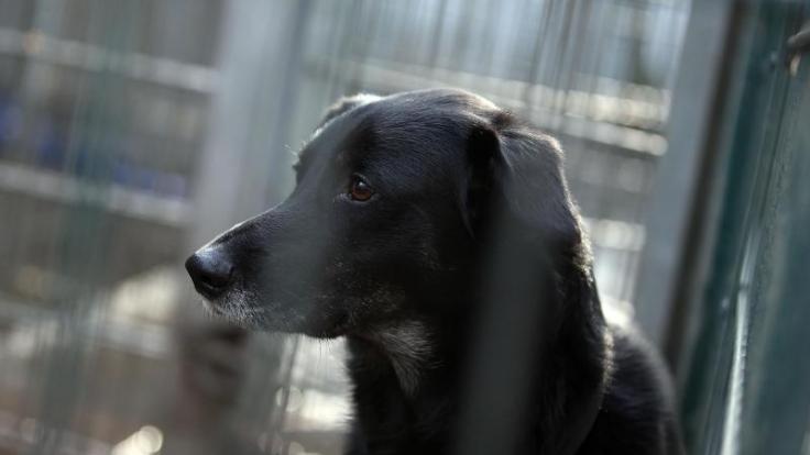 Weil er die Abstammung seines Hundes nicht nachweisen konnte, beging der 27-Jähringe Däne Dan Selbstmord. (Foto)