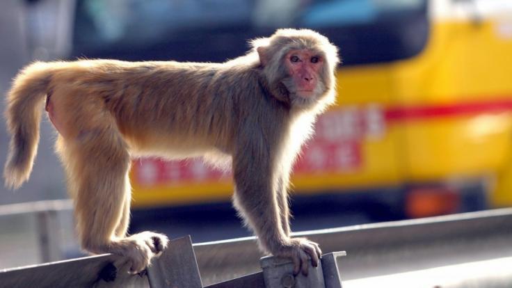 Ein Affe hat in Russland ein Mädchen attackiert. (Foto)
