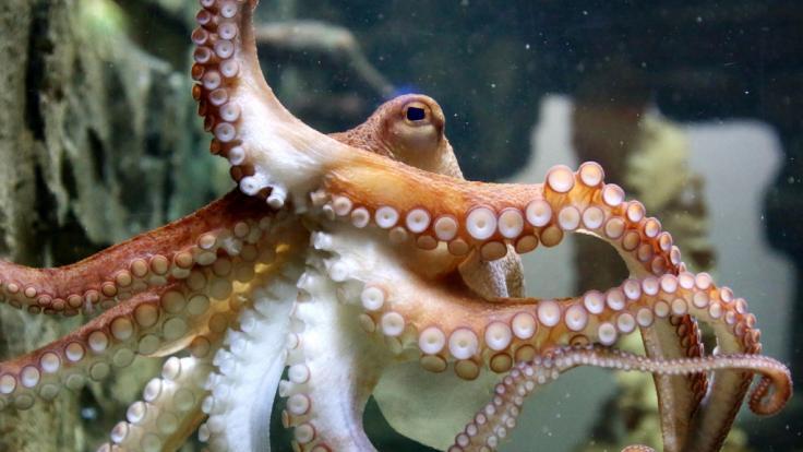 Vor der Küste Hawaiis wurde ein Oktopus ziemlich anhänglich (Symbolbild). (Foto)