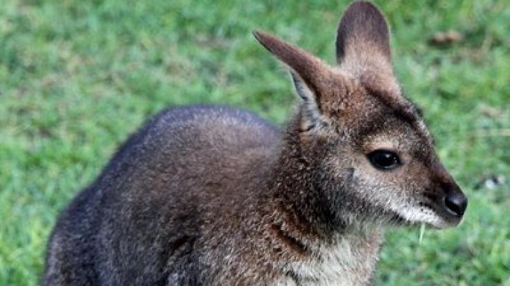 Känguru mit Jungtier im Beutel.