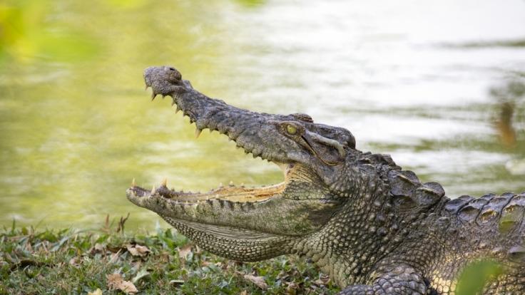 In Afrika wurde ein Großwildjäger offenbar von Krokodilen gefressen.