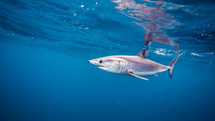 Vor der Küste Kroatiens wurde offenbar ein Makohai gesichtet. (Foto)