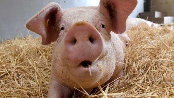 Ein YouTube-Video zeigt ein offenbar mutiertes Schwein. (Foto)