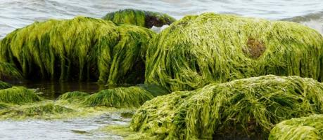 algen zum abnehmen