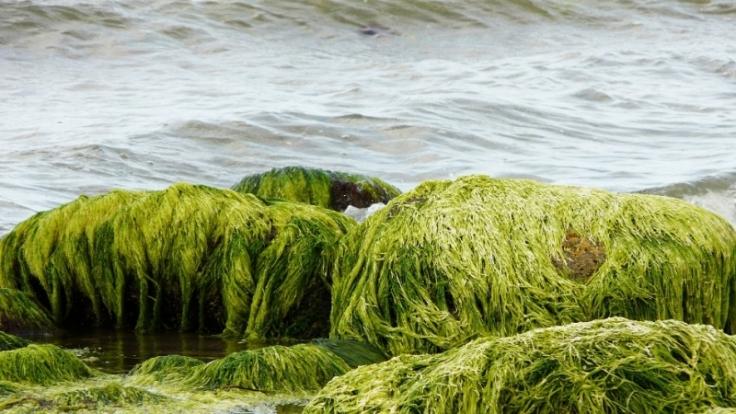 Sie sind das Gemüse des Wassers, jodhaltig und mineralstoffreich. Aber taugen Algen auch zum Abnehmen? (Foto)