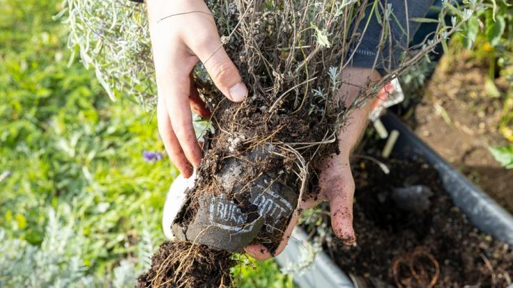 Der Pottburri-Pflanztopf kann eingepflanzt werden, da er komplett kompostierbar ist. (Foto)