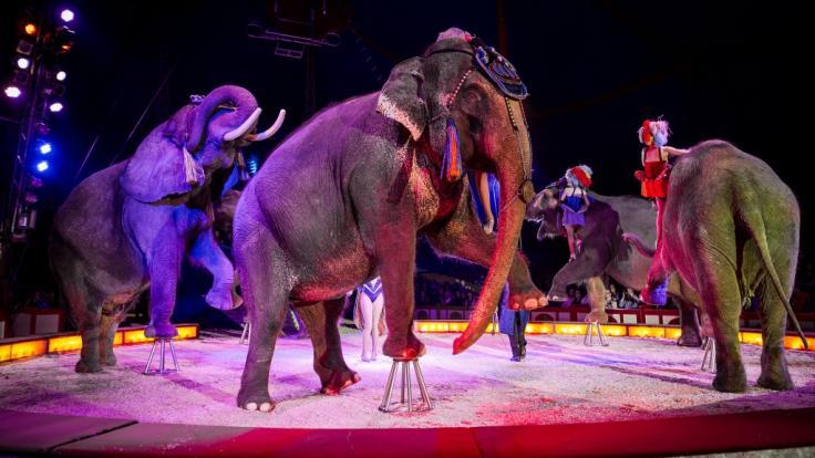 In Osnabrück ist ein Elefant während einer Zirkusvorstellung in den Zuschauerbereich gestürzt (Archivbild).