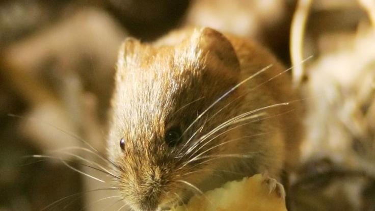 Blut im Urin bis hin zu Nierenversagen: Das Hanta-Virus wird durch Mäuse übertragen - und die sich stark vermehrt haben. (Foto)
