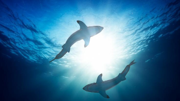 Auf einer Tiefsee-Mission entdeckten Meeresforscher drei Haiarten, die im Dunkeln leuchten können. (Foto)