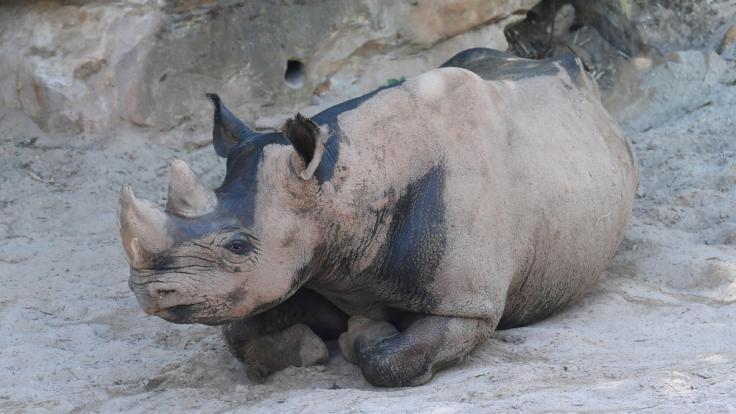 Bei einem Zoo-Ausflug in den USA ist ein 2-jähriges Mädchen in ein Nashorn-Gehege gefallen. (Symbolbild)