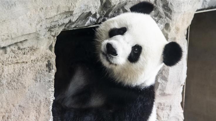 Panda-Weibchen Meng Meng hat im Berliner Zoo zwei Jungtiere zur Welt gebracht. (Foto)