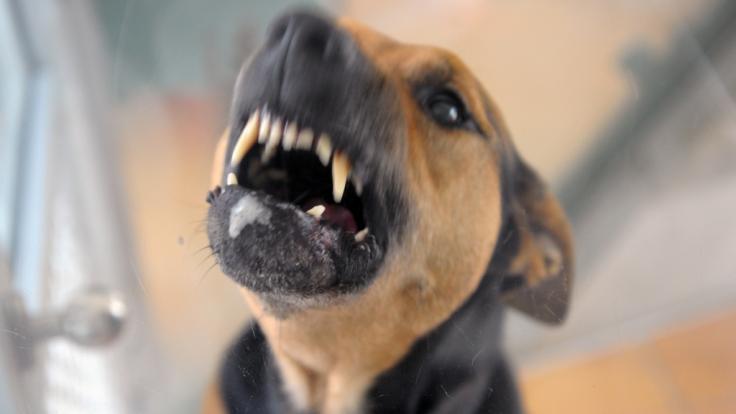 Der Biss seines Familienhundes sollte für einen 79 Jahre alten Mann aus England tödliche Folgen haben (Symbolbild).