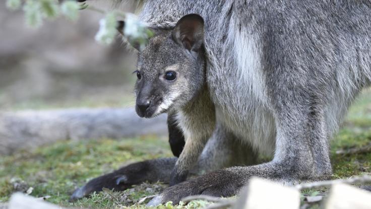 In Thüringen ist ein Känguru samt Jungtier verschwunden (Symbolbild).