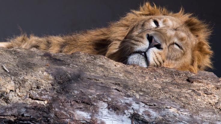Ein Video einer feigen Löwenjagd sorgt im Netz für Aufregung (Symbolbild).
