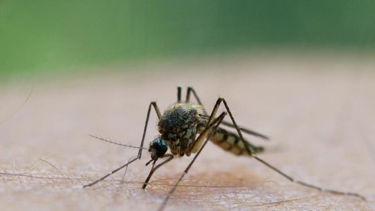 Eine Mücke saugt Blut aus dem Arm eines Mannes.