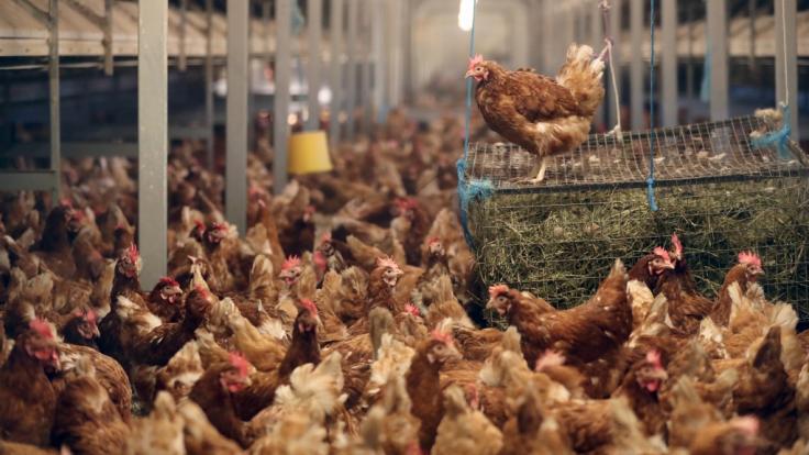 Im Einzelhandel verkaufte Hähnchen sind immer häufiger mit gefährlichen Durchfallkeimen belastet.