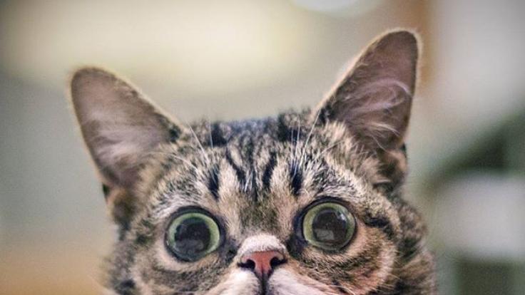 Lil Bub hat über 2,8 Millionen Follower auf Facebook.
