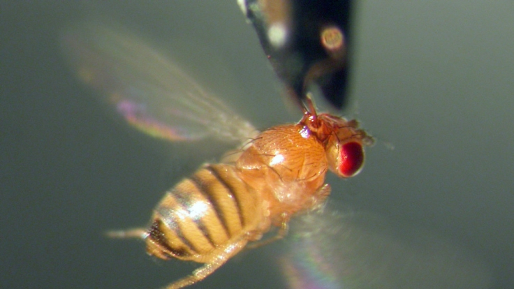 Fruchtfliegen-Alarm: Die kleinen Tiere nerven besonders im Sommer. (Foto)