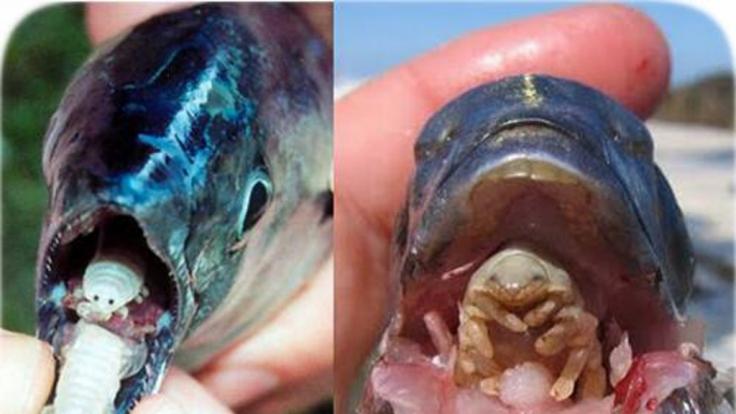 Der Parasit isst die Zunge des Fisches und ersetzt diese schließlich.