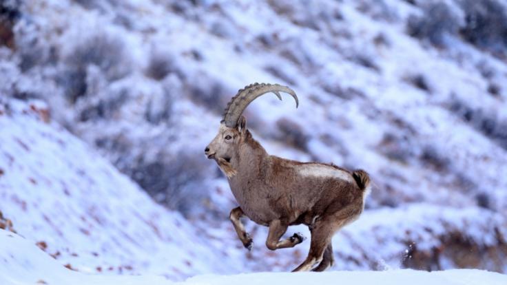 Wie sein tierischer Namensgeber ist auch das Sternzeichen Steinbock außerordentlich anpassungsfähig und resilient. (Foto)