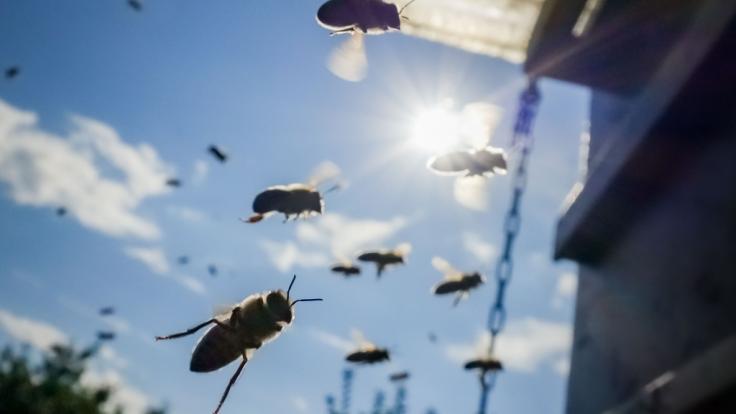 Im US-Bundesstaat Arizona ist ein Mann nach einer Bienen-Attacke gestorben (Symbolbild). (Foto)