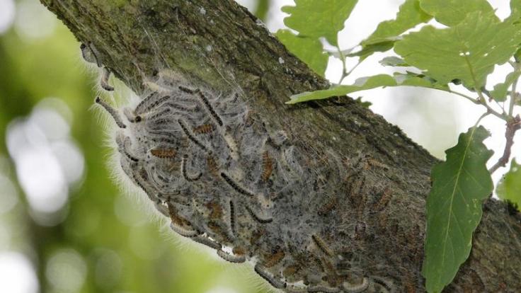 Auch verpuppte Raupen können giftig sein