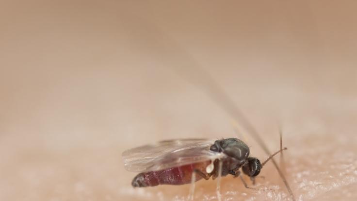 Kriebelmücken sehen der Stubenfliege sehr ähnlich.