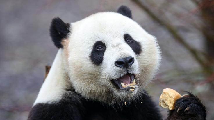Riesenpanda Tian Bao hat einen Mann angegriffen. (Foto)