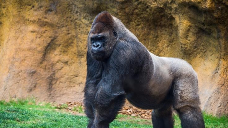 Ein Gorilla hat eine Tierpflegerin in Madrid angegriffen.
