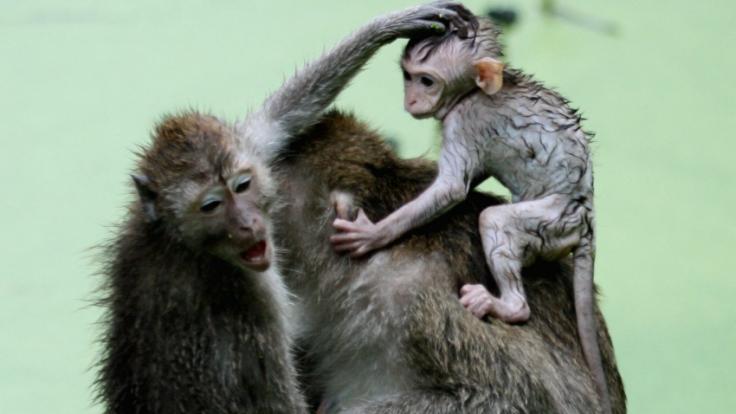 Für die Experimente wurden Embryonen der Affenart Macaca fascicularis verwendet. (Foto)