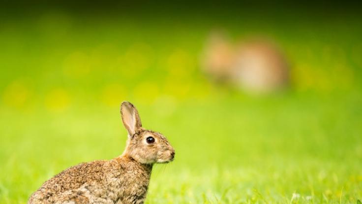Der deutsche Kaninchen-Bestand ist von der Chinaseuche bedroht. (Foto)
